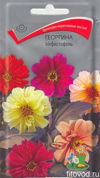 георгина мефист